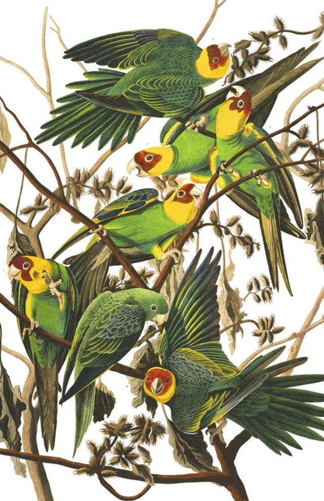 plate-26-carolina-parrot-final
